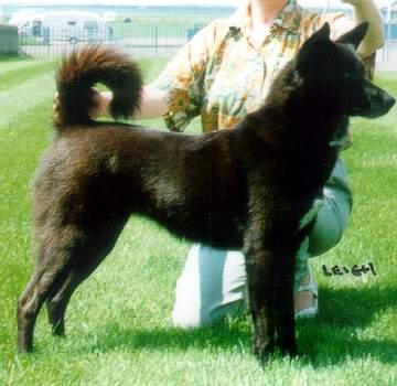 Black Canaan Dog