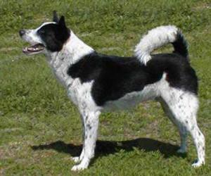 Canaan Dog Colours – Genetics - British Canaan Dog Society