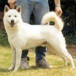 Cream Canaan Dog