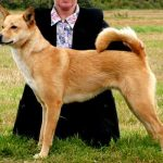 Red Canaan Dog