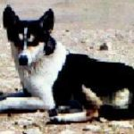 Tri-Colour feral dog