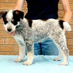 Tri-colour Canaan Dog Puppy