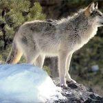 Wild Agouti Coloured Wolf